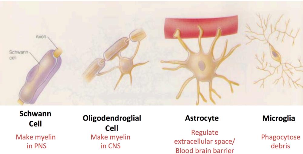 Glia cells.png